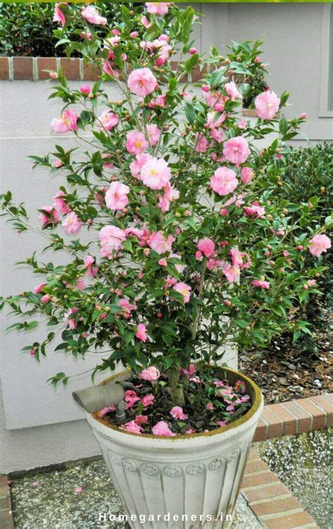 what to plant with camellias camellia plant care how camellia plants are making the garden a better place home gardeners