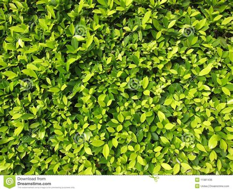 images of shrubs plants hedge plants royalty free stock image image 11981436