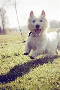 West Highland White Terrier Happy