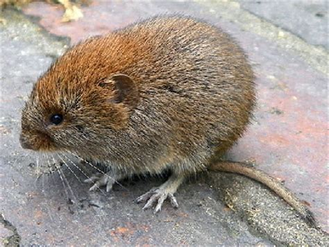 vols animal vole info photo 2