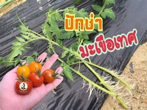ปักชำมะเขือเทศสุดง่ายไม่ต้องซื้อต้นมาปลูก Ep.781 | การปลูก ...