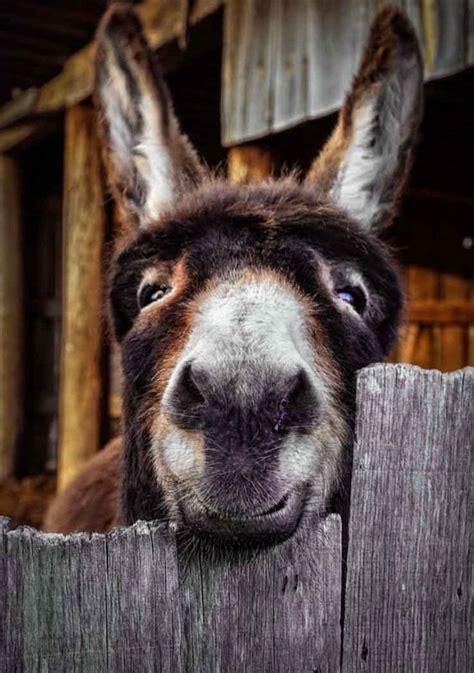 cute donkey    fence luvbat