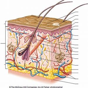 31 Diagram Of The Integumentary System