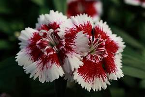 File:Red-White-Flower ForestWander.JPG - Wikimedia Commons