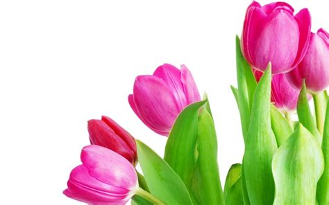 Pink Tulip Backgrounds by Pink Tulip Wallpapers Wallpaper Cave