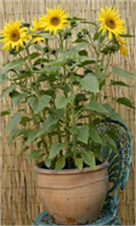 can i grow sunflowers in pots sunflower seeds give energy