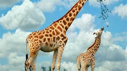 Giraffe Desktop Heart Giraffes Animals Wallpapers 1080