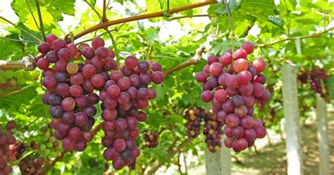 varietà uva da tavola variet 224 uva da tavola uva uva da tavola variet 224