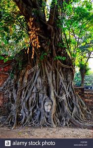 Wurzeln Im Kopf Berechnen : sacred banyan stockfotos sacred banyan bilder alamy ~ Themetempest.com Abrechnung