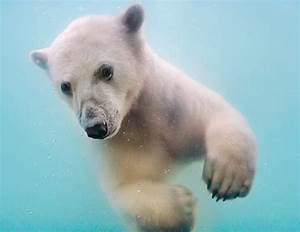 Gallery For > Baby Polar Bears Swimming