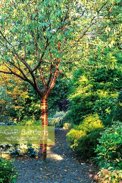 gap gardens prunus serrula var tibetica  october