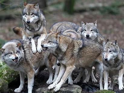 Pack Wolves Wolf Desktop Wallpapers Widescreen Lupi