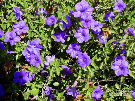 purple flower vine plants purple flowering beautiful fuss free shrub ramblings from a desert garden
