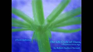 The Life Cycle Of Chara  A Fresh Water Green Alga