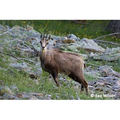 Alpine Chamois - Rupicapra rupicapra Ray Wilson's Bird