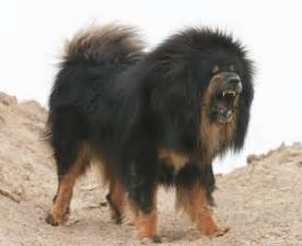 Tibetan Mastiff Lion Dog
