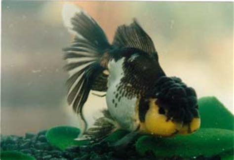 golden phoenix fisheries oranda