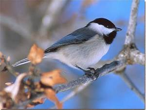 World Beautiful Birds   Carolina Chickadee