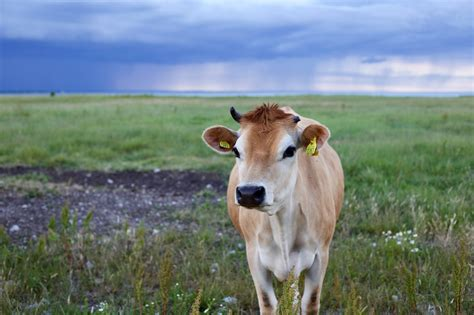 100+ Peaceful Cow Pictures · Pexels · Free Stock Photos