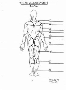 Muscular System Diagram Unlabeled