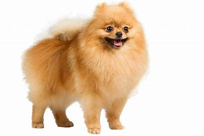 Dog Dogs Pomeranian Puppy Transparent Clipart Breed