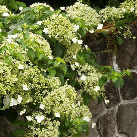 summer flowering climbers climbing hydrangea summer flowering van wingerden home garden center