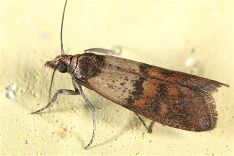 Pantry Moth Traps Uk by Moth Traps Related Keywords Moth Traps Long Tail
