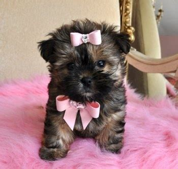 shorkie love images  pinterest doggies