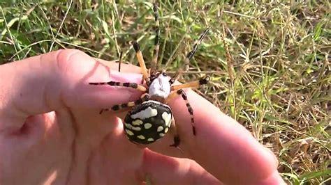 Handling Large Garden Spider