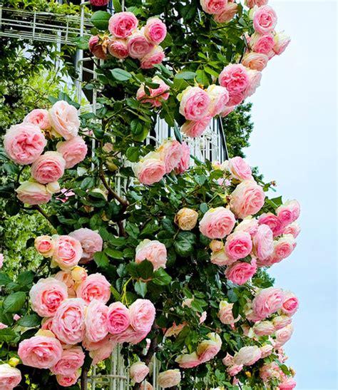 Kletterrose Eden Rose 1a Qualität Kaufen Baldur Garten