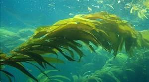 Seaweed key to mitigating ocean acidification - ALGAE ...