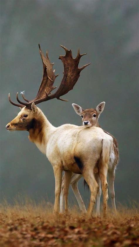 Animal Deer Wallpaper - wallpaper deer animals autumn 4k animals 16459