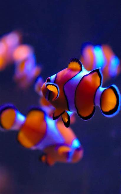 Clown Fishes Mobile Fish 4k Wallpapers Clownfish
