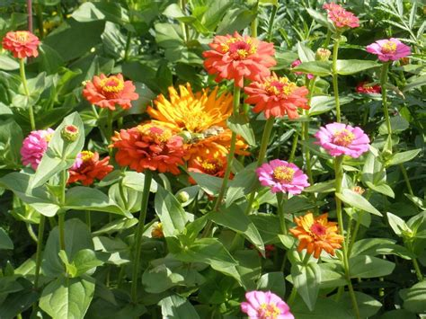 flowers all summer easy annual flowers bloom all summer garden org