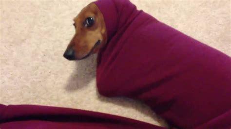cute dachshund  stuck   sweater youtube
