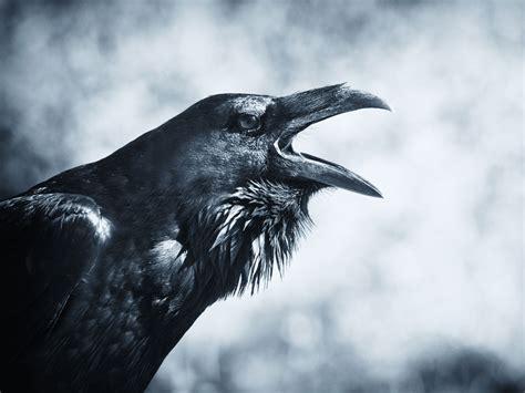 Raven Spirit Animal  Wild Gratitude
