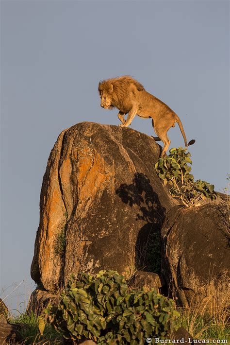 kidepo lion burrard lucas photography