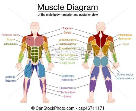 Human muscle system, the muscles of the human body that work the skeletal system, that are under voluntary control, and that are concerned with the following sections provide a basic framework for the understanding of gross human muscular anatomy, with descriptions of the large muscle groups. Muscle diagram male body names. Muscle diagram - most important muscles of an athletic male body ...