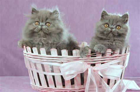 accoppiamento gatti persiani 2 gattini persiani in cestino dentellare immagine stock