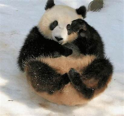 Panda Hashtag Roulades Giphy Neige Snow