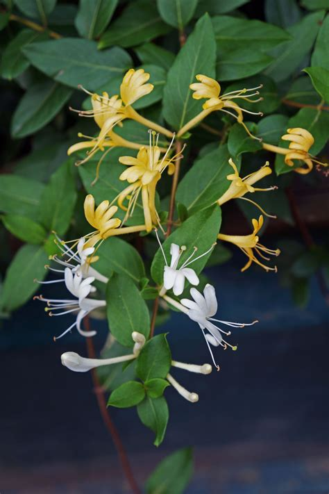 japanese honeysuckle plant care  growing guide