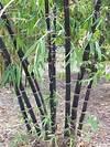 Best 25+ Clumping bamboo ideas on Pinterest | Bamboo clumping bamboo garden