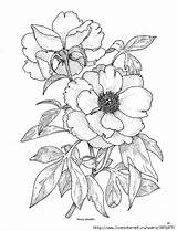 Drawing Peony Coloring Flower Rose Flowers Drawings Wild Sketches Adult Patterns Tattoo Para Flores Outline Painting Line Fabric Pencil Sketch sketch template