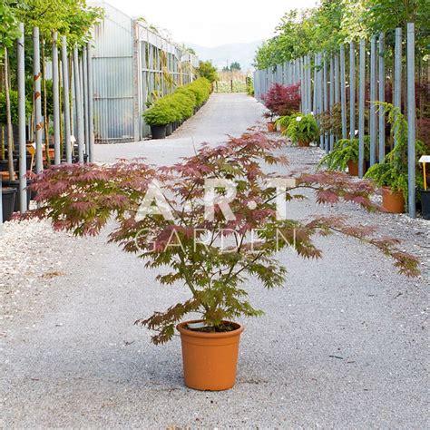 joli erable du japon acer palmatum ariadne pour terrasse et jardin