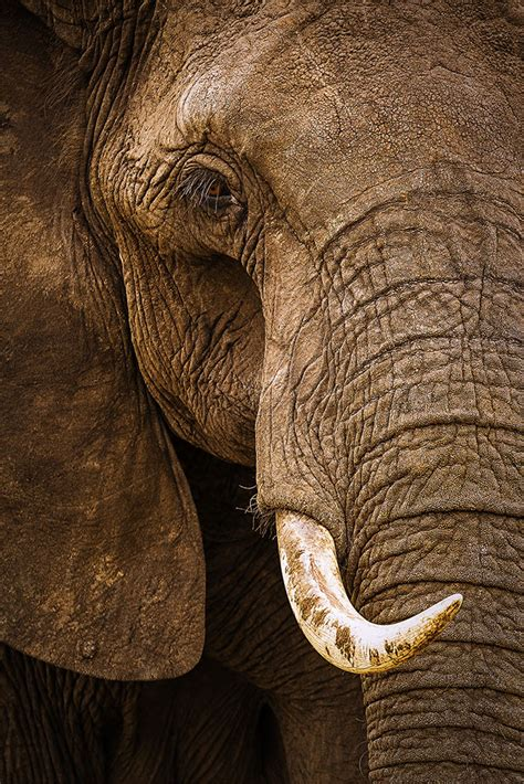 african elephant portrait photography  stephen  oachs