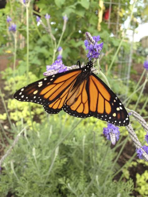 monarch butterfly garden design pin by knoll landscape design miami on hummingbird butterfly tropica
