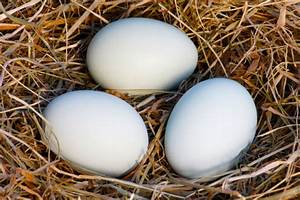 white chicken eggs | Tom Gibson Photography