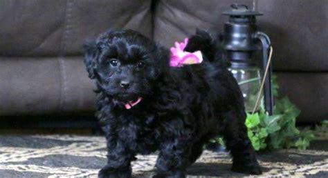 morkie poomeet terri  puppy  adoption