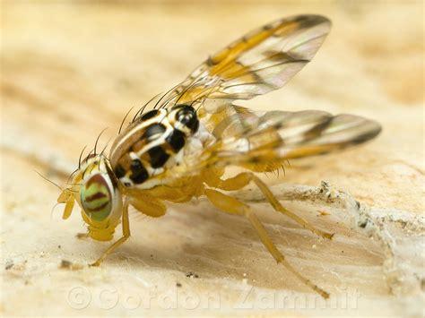 http://www.maltawildplants.com/!faunafungi/maltawildlife.php?species=Ceratitis%20capitata
