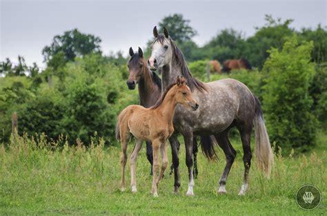 foto de Konie czystej krwi arabskiej